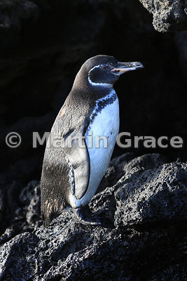 Portrait of adult Galapagos Penguin (Spheniscus mendiculus), Sombrero Chino, Galapagos Islands
