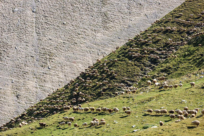 Flock of Sheep Migrating across the Hillside