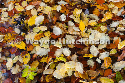 Colourful leaves in upland stream, Autumn.
