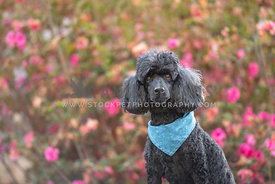 close up of black poodle wearing blue bandana in front of pink flowers