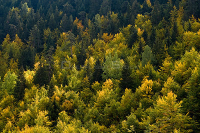 Fir and beech forest in Tara Canyon, Durmitor NP, Montenegro, October 2008