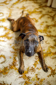 Brindle pit mix lying on very old fashioned carpet