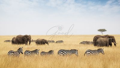 Zebra and Elephants Walking in Kenya Grasslands
