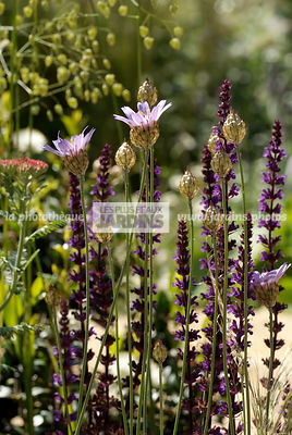 Association de vivaces : Catananche coerulea (Cupidone bleue), Salvia nemorosa 'Caradonna', Paysagiste : Peter Reader, Hampto...