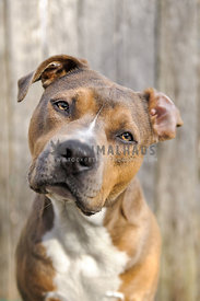 Sable Amstaff with ear flipped looking inquisitive in front of a wooden fence
