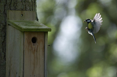 Great Tit Parus major arriving at nest box Ferry Wood Norfolk