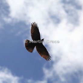 Alpine or Yellow-Billed Chough (Pyrrhocorax graculus) in flight, Picos de Europa, Cantabria, Spain