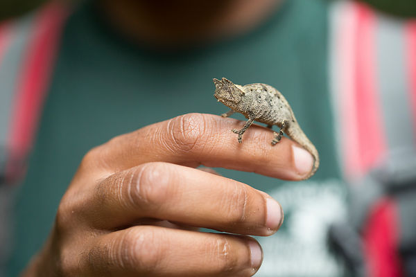 Our guide moved this Brown Leaf Chameleon to a safer spot away from the path