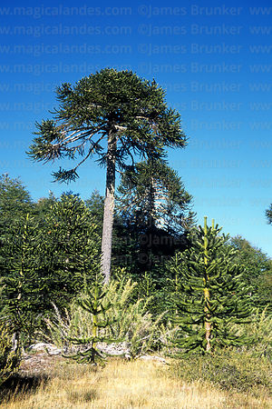 Monkey Puzzle (Araucaria araucana) tree, Huerquehue National Park, Region IX, Chile