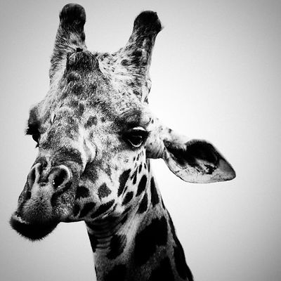 0448-Portrait_of_a_giraffe_Laurent_Baheux