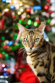 Bengal cat in front of a Christmas tree
