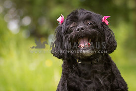 Happy young black dog with pink bows