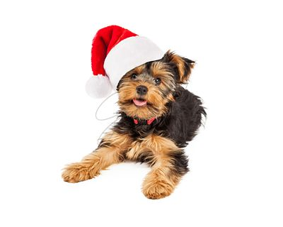 Teacup Yorkie Wearing Santa Hat