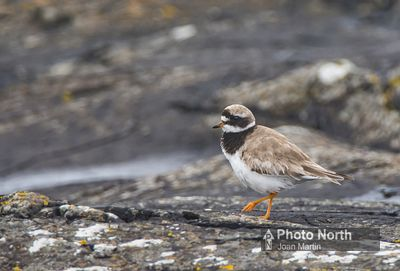 PLOVER 01A - Ringed plover