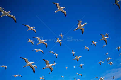 Australian gannets in flight {Morus serrator} Australia.