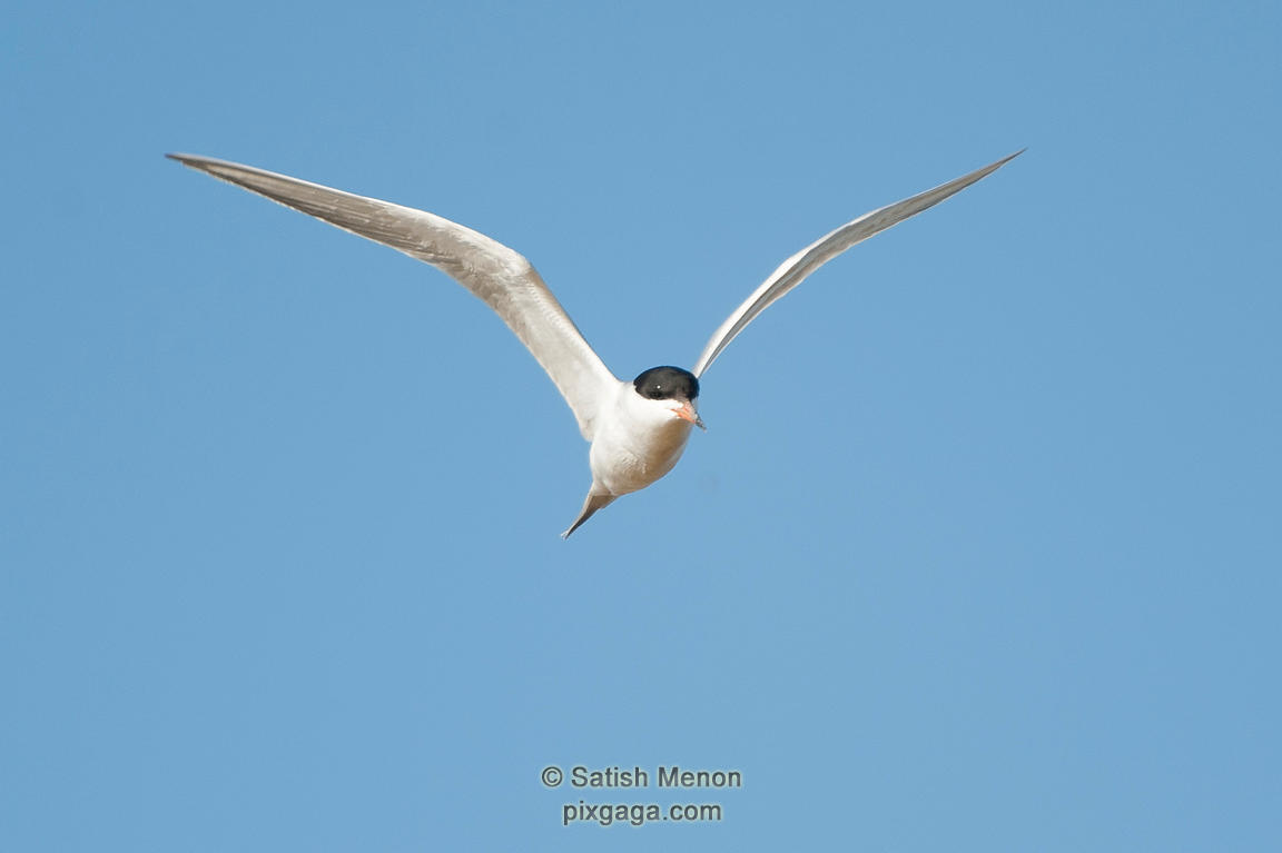 Forster's Tern, Don Edwards Wildlife Refuge, Alviso, CA, USA