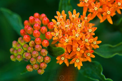 Butterfly Weed Buds