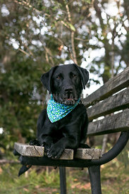 friendly black labrador on park bench