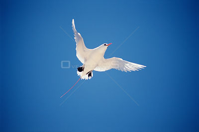 Red tailed tropic bird in flight {Phaethon rubricauda} Lady Eliot Island, Australia, Great Barrier Reef