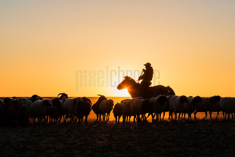 Herder Rounding up his Animals on the Mongolian Steppe at Sunrise