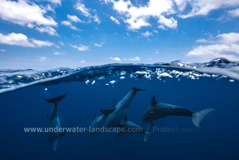 Photo sous marine de dauphins - photographe dauphin