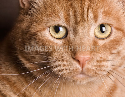 Emotive close-up face shot of an orange cat looking at the camera