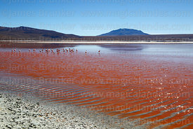 Flock of flamingos in Laguna Colorada and Cerro Pabellon Chico, Eduardo Avaroa Andean Fauna National Reserve, Bolivia