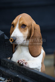 A single basset hound with his paw on a fence