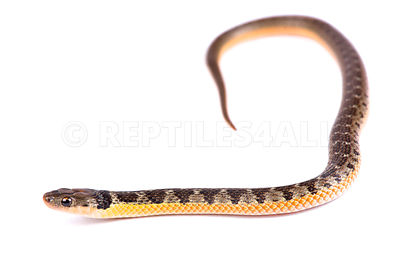 Golden bellied snake (Liophis poecilogyrus)