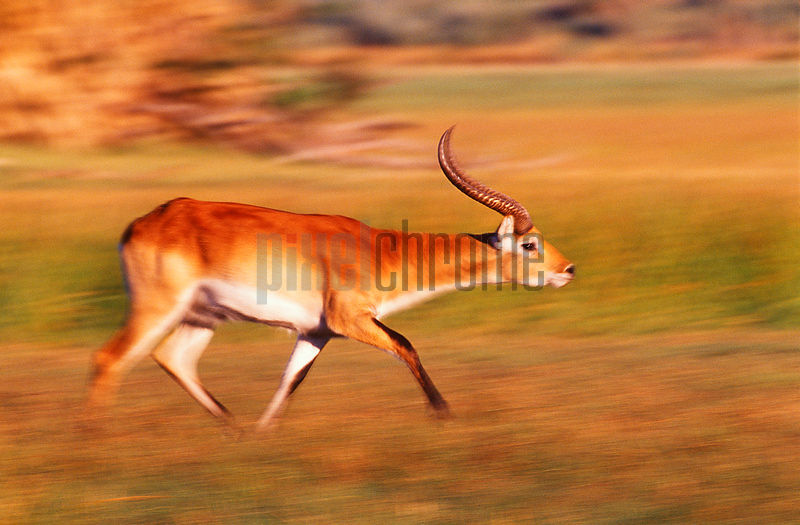 Running Red Lechwe