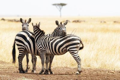 Three Zebra Friends in Africa