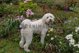 Goldendoodle standing in flower bed