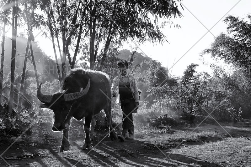 Boy with bull, Myanmar,Burma