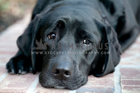 mellow-black-lab-face-resting-on-brick-floor