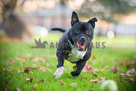 Black Staffy chasing tennis ball