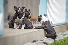 boston terrier puppy tries to join its siblings
