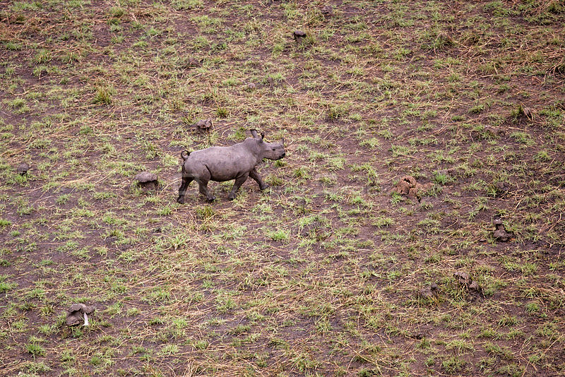 Aerial view of young Northern white rhinoceros {Ceratotherium simum cottoni} taken from anti-poaching aircraft in 1989, Garam...