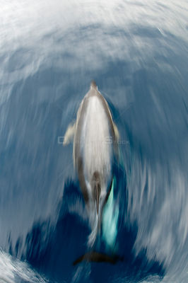 Common dolphin (Delphinus delphis) surfacing, Pico, Azores, Portugal, June 2009