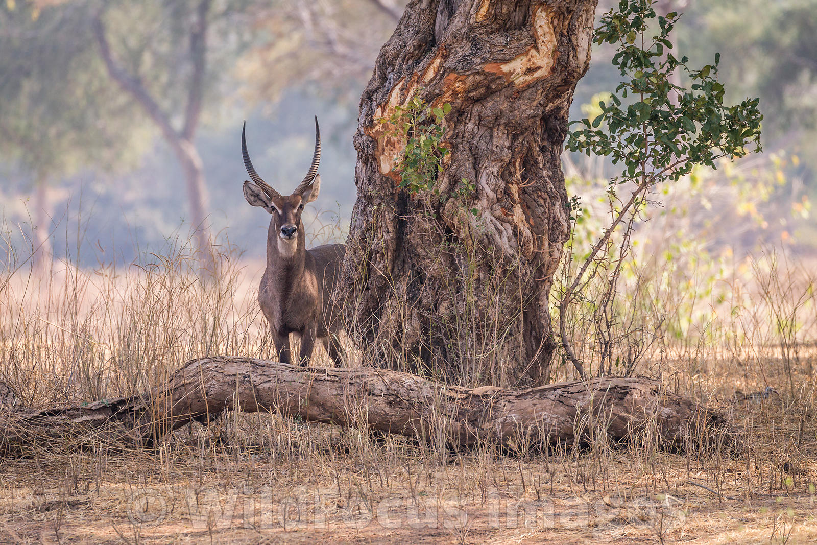 Male Waterbuck (Kobus ellipsiprymnus) at Chine Pool, Mana Pools National Park, Zimbabwe; Landscape