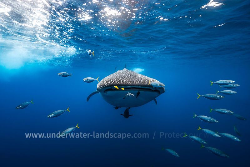 Whale shark escorted by a school of bonito