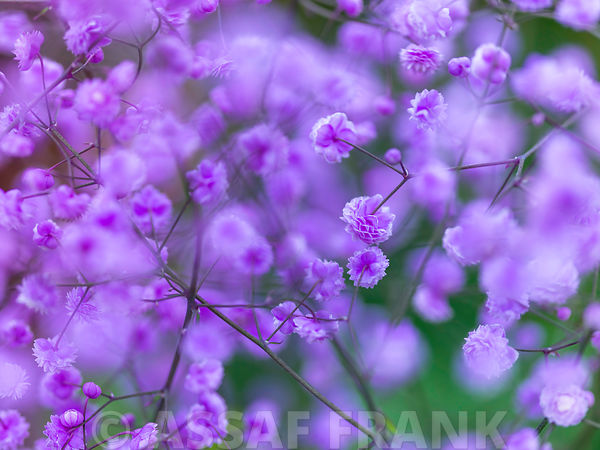 Thalictrum Delavayi flowers