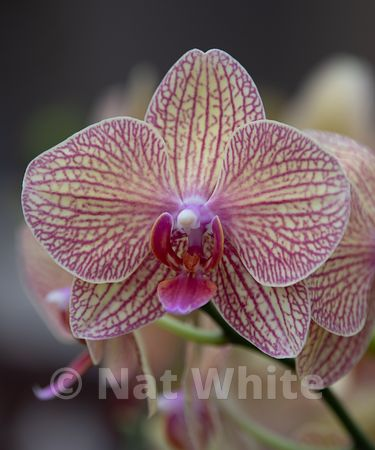 Orchid_phalaenopsis-9548_October_07_2018_NAT_WHITE