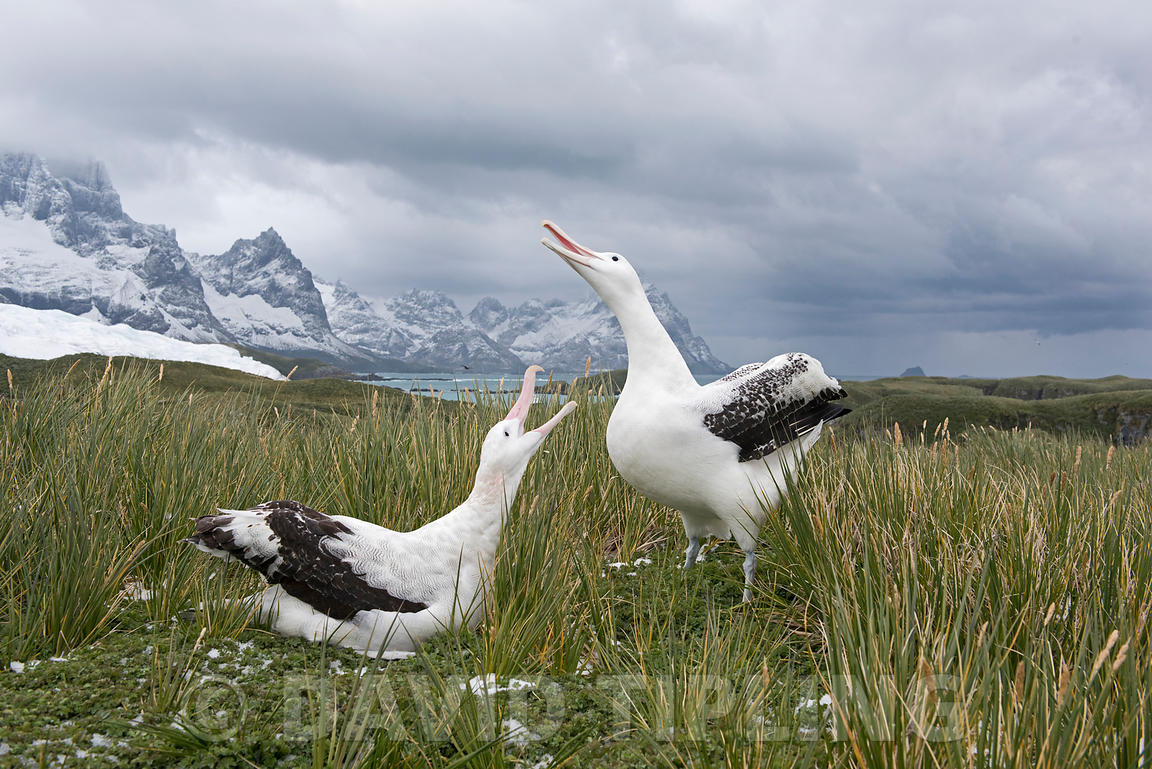 Wandering Albatross Diomeda exulans pair in courtship at Trollheim South Georgia January