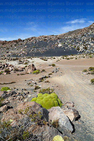 Yareta plant (Azorella compacta) and ridge of volcanic black sand in background, Lauca National Park, Region XV, Chile