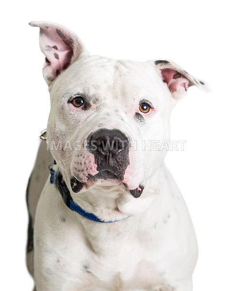 Closeup White Pit Bull Terrier Dog