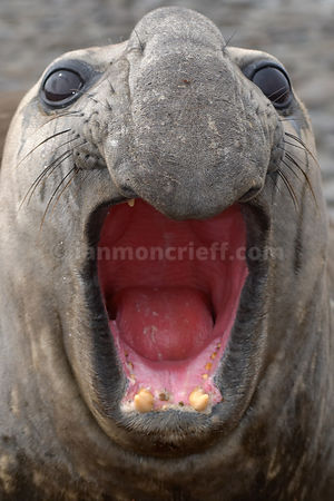 Elephant Seal at Kelp Point