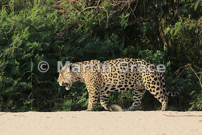 Male Jaguar 'Hero' (Panthera onca) walks along the top of the beach, Three Brothers River, Northern Pantanal, Mato Grosso, Br...