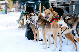 sled dog team waits in the snow to go dogsledding