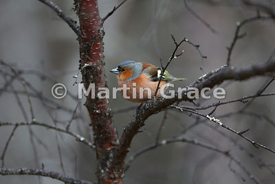 Male Common Chaffinch (Fringilla coelebs) on birch, Scottish Highlands