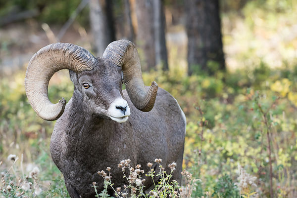 Yellowstone-Bighorn-Sheep-6230831